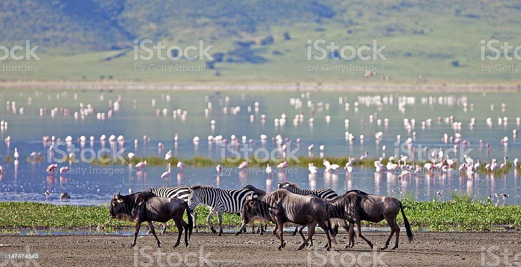 Zebras, wildebeests and flamingos in the Ngorongoro Crater stock photo
