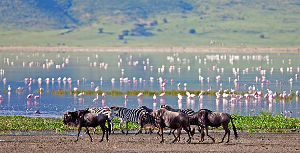 Zebras, wildebeests and flamingos in the Ngorongoro Crater Zebras and wildebeests in the Ngorongoro Crater, Tanzania ngorongoro conservation area stock pictures, royalty-free photos & images