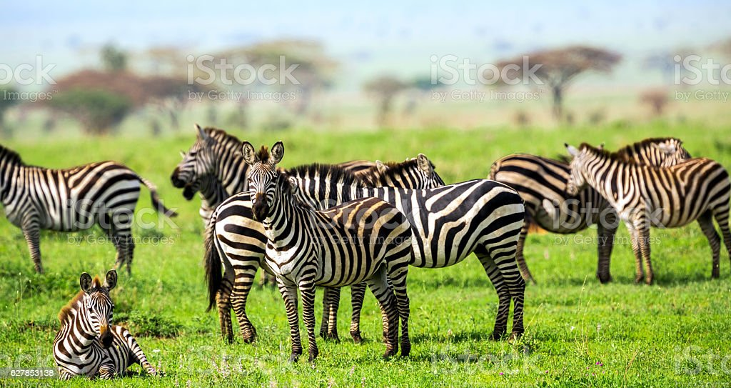 Zebras with African Acacia Trees at Savannah stock photo