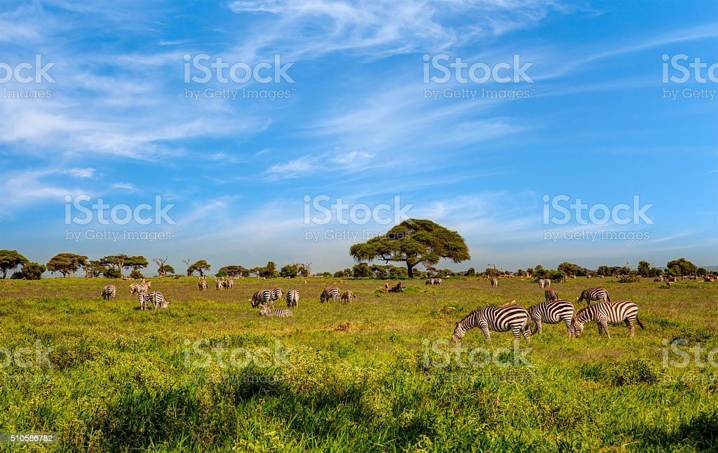 zebras with clouds - feeding and watching stock photo