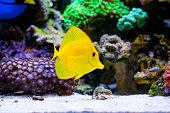 Zebrasoma flavescens  in Home Coral reef aquarium. Selective focus.