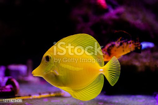 Zebrasoma flavescens - The Yellow tang, It is one of the most popular aquarium fish