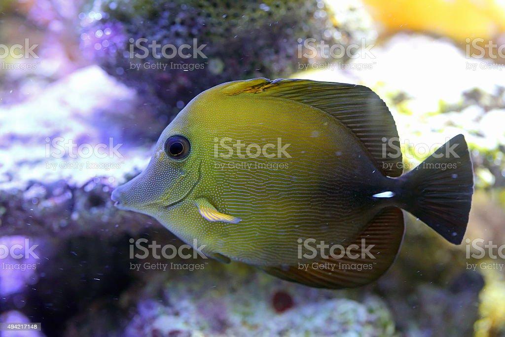 Zebrasoma scopas. Fish close up stock photo