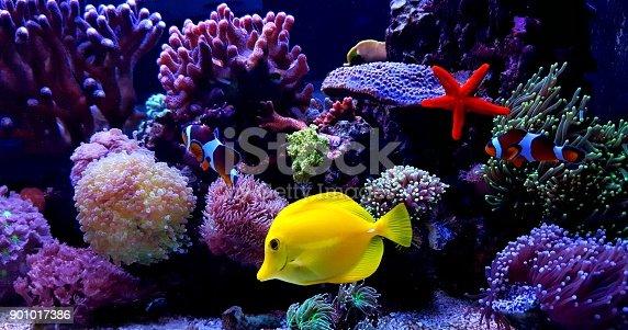 istock Zebrasoma Yellow Tang in saltwater reef aquarium tank 901017386