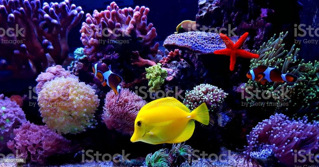 Zebrasoma Yellow Tang in saltwater reef aquarium tank stock photo