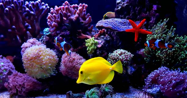 Zebrasoma Yellow Tang in saltwater reef aquarium tank One of the most popular saltwater fish in reef aquarium tanks undersea stock pictures, royalty-free photos & images