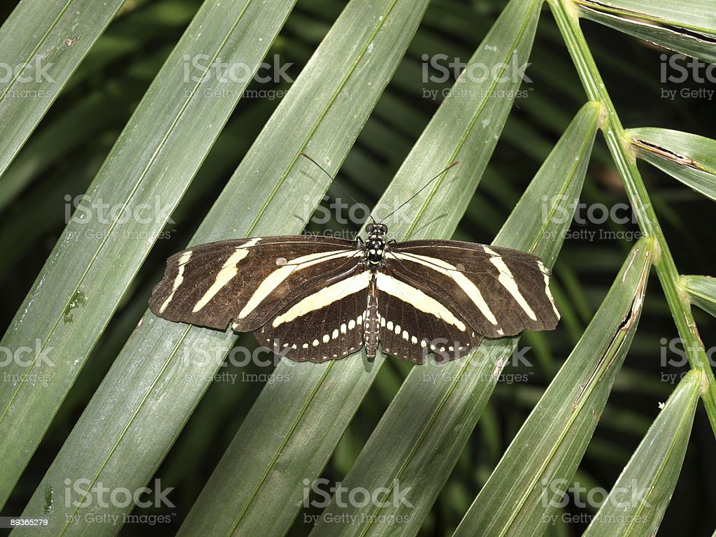 Zebra-winged butterfly on a palm leaf royalty free stockfoto