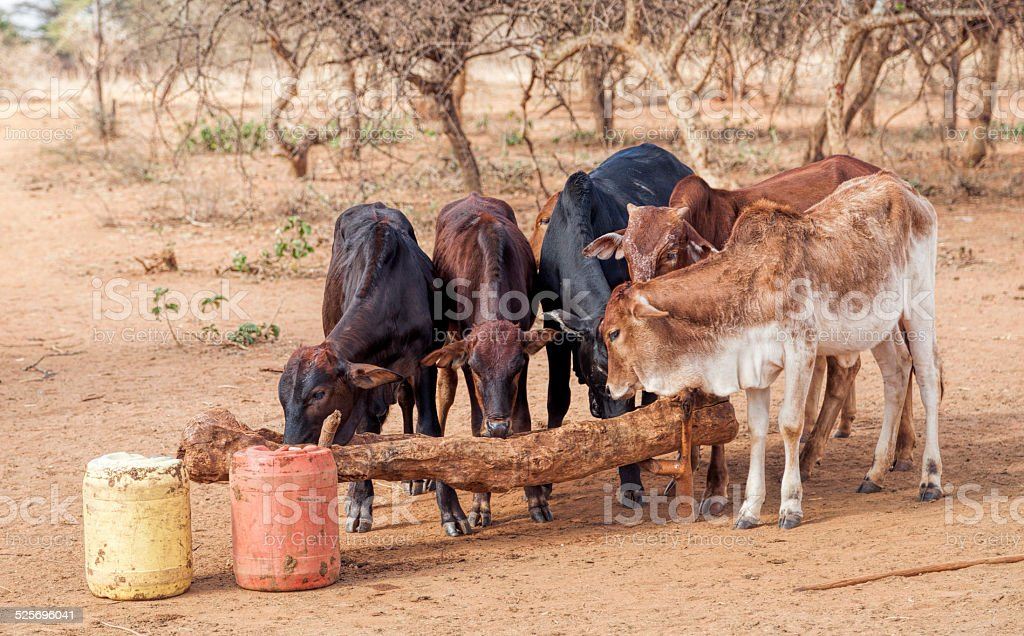 Zebu calves drinking from dug out tree trunk, Maasai village stock photo