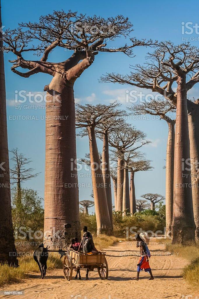 Carrinho e baobabs Zebu - foto de acervo