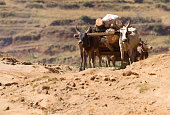 A long line of cattle moving through the African arid desert.
