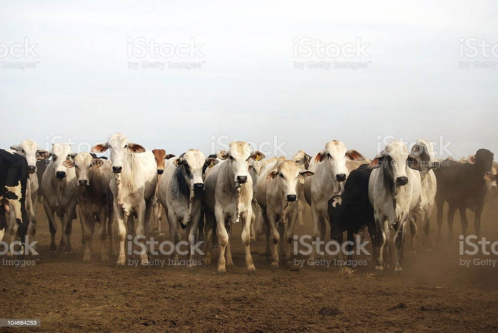 Zebu cattle at a ranch in Brazil stock photo