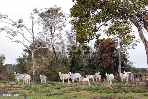 Group of zebu cows watching attentively into the camera, in the Brazilian Pantanal
