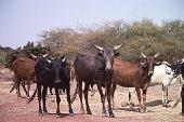 Zebu Cattle of Fulani herder along highway in northern Sahel Yatenga Burkina Faso Africa
