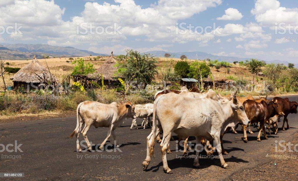 Zebu cattle on highway. Omo valley near Konso, Ethiopia stock photo