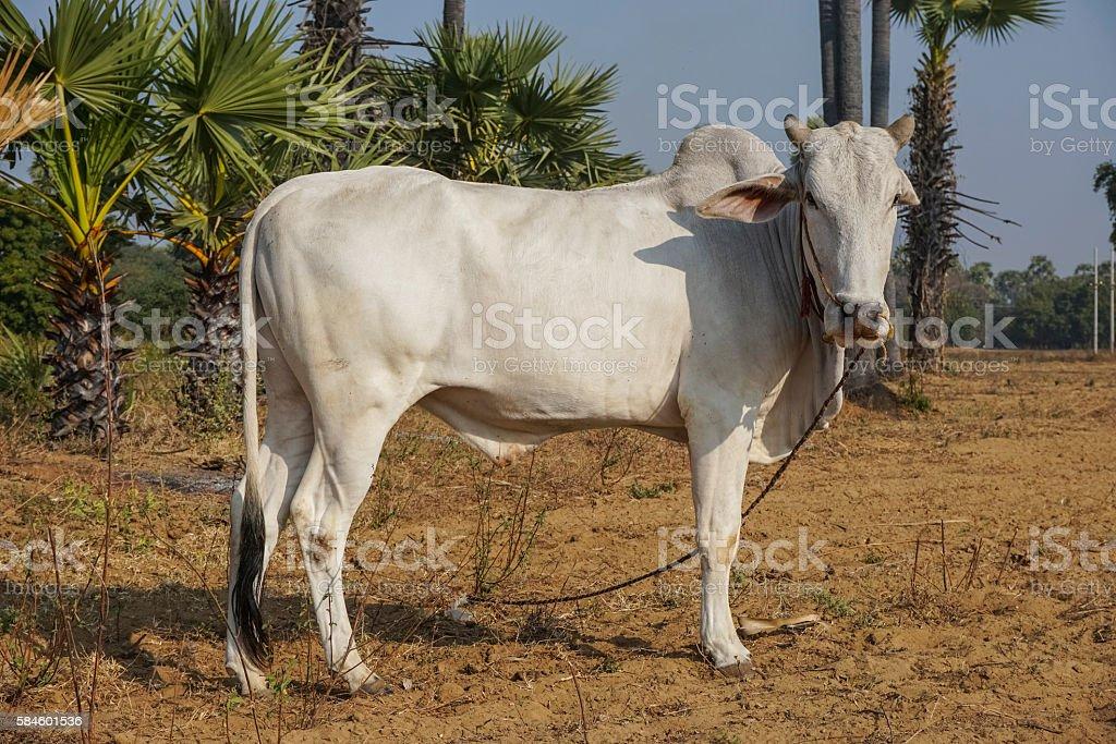 Zebu cattle stock photo