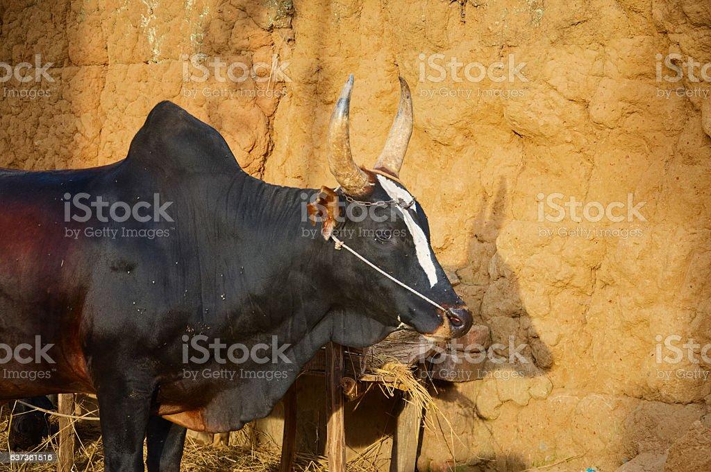 Zebu, ox, bull in Madagascar with hump stock photo