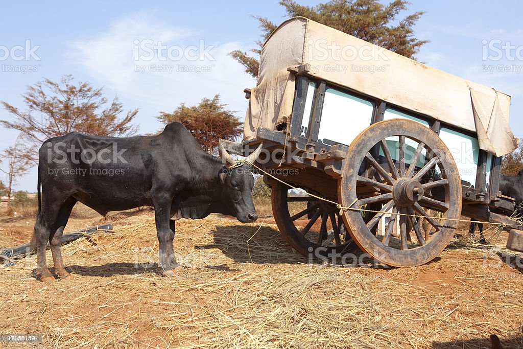 Zebu tied to a Cart, Central Madagascar stock photo