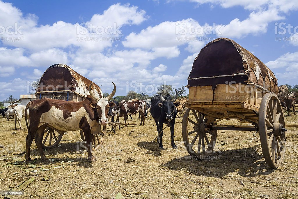 Zebus and carts stock photo