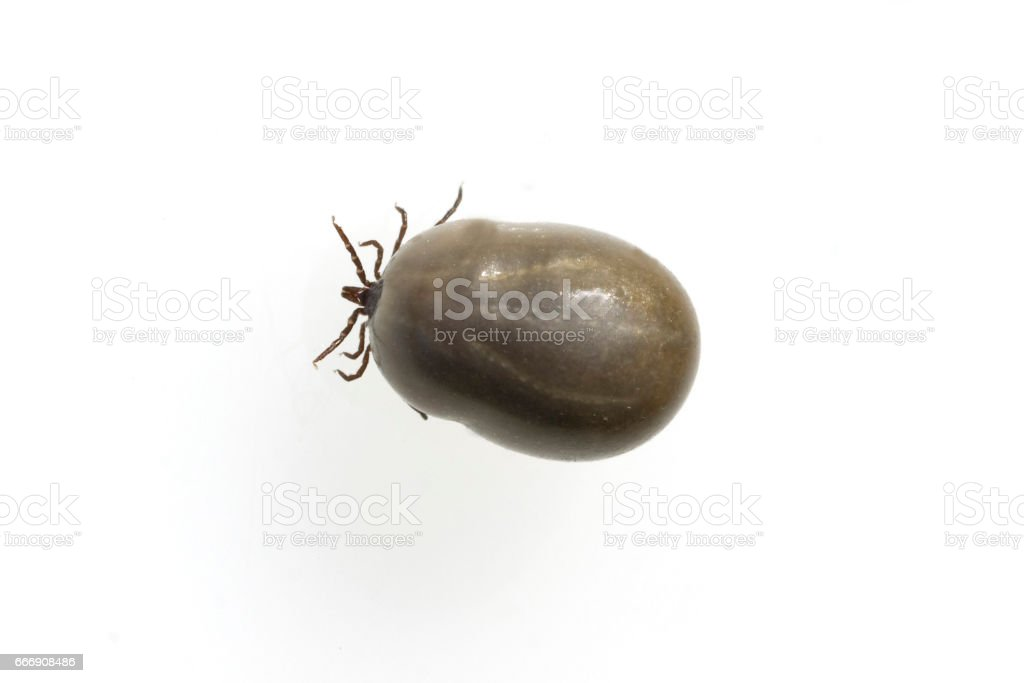 Zecke; Ixodes; ricinus, full, blood stock photo