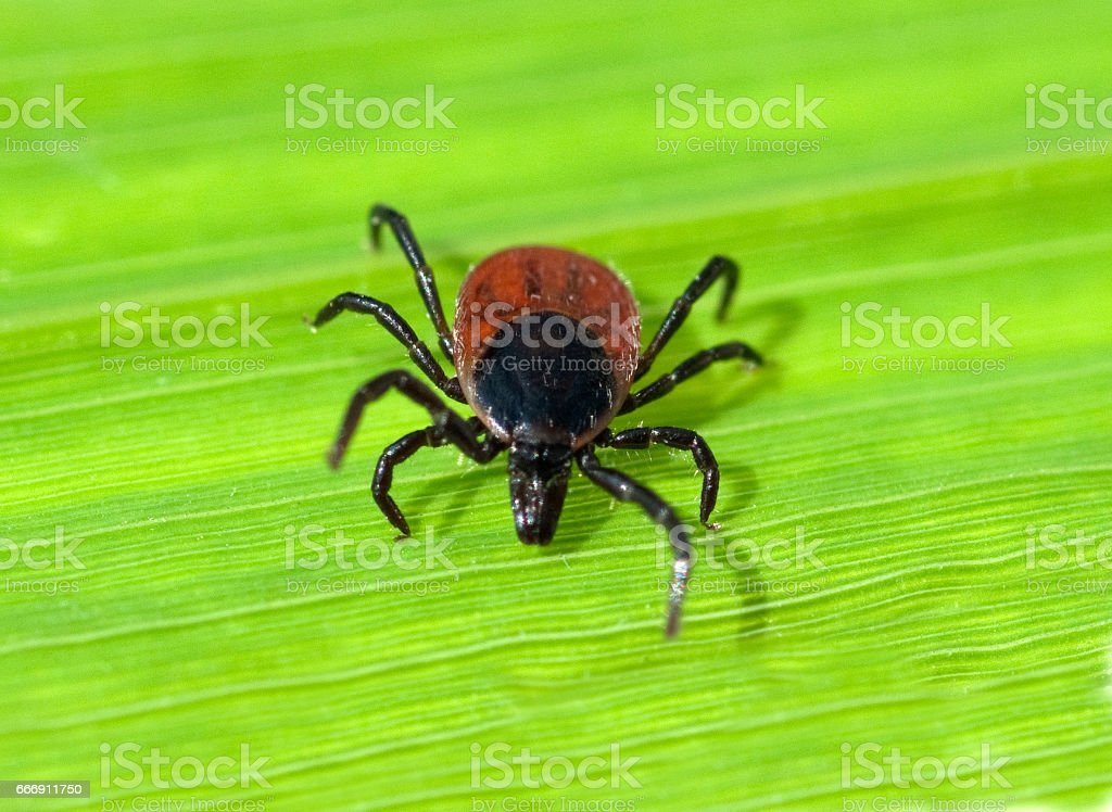 Zecke; Ixodes; ricinus stock photo