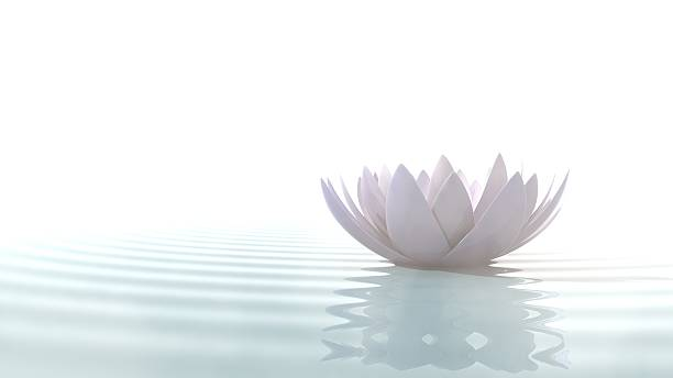 Zen lotus on water Zen lotus flower in water illuminated by daylight on white background single flower stock pictures, royalty-free photos & images