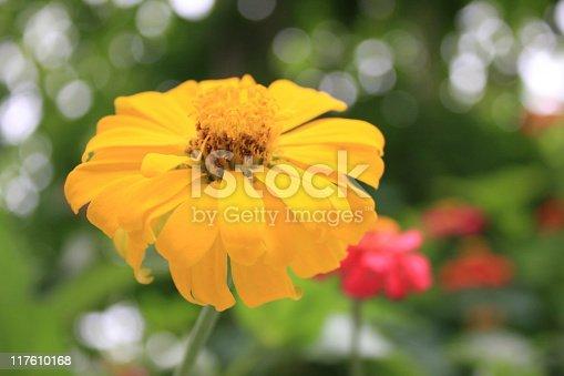 Beautiful Zenia flower.