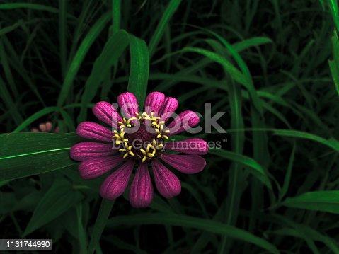 A beautiful hd wallpaper of Zenia Flower.