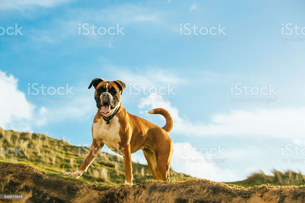 zenna the boxer chilling stock photo