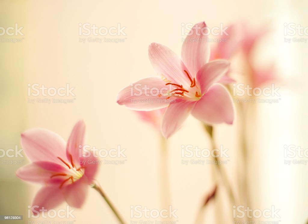 Zephyr lilies royalty-free stock photo