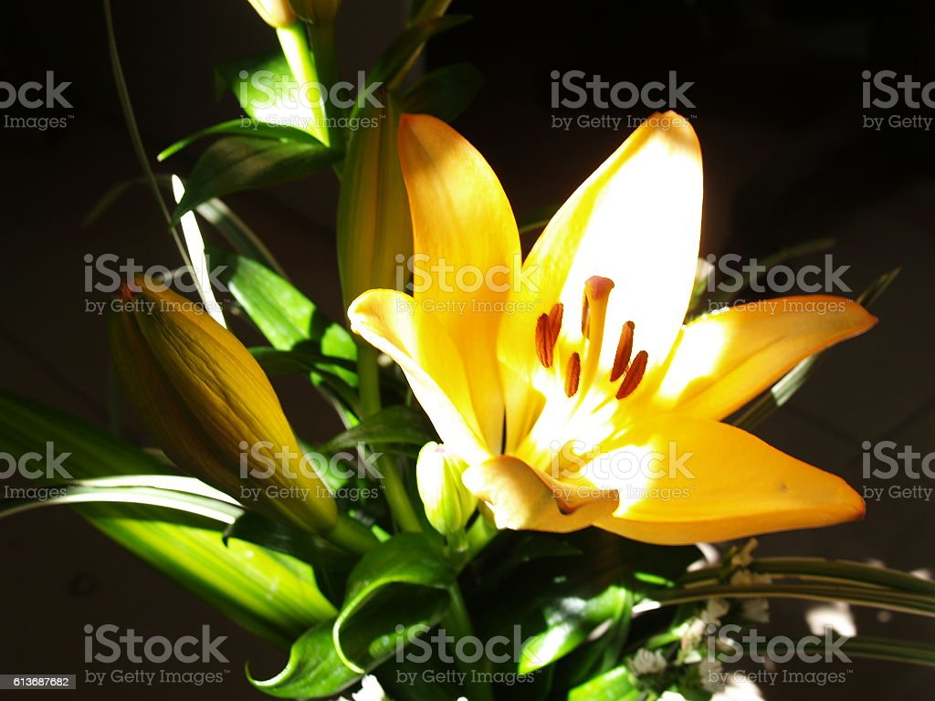 Zephyranthes Lily Flower Common Names For Species In This Genus