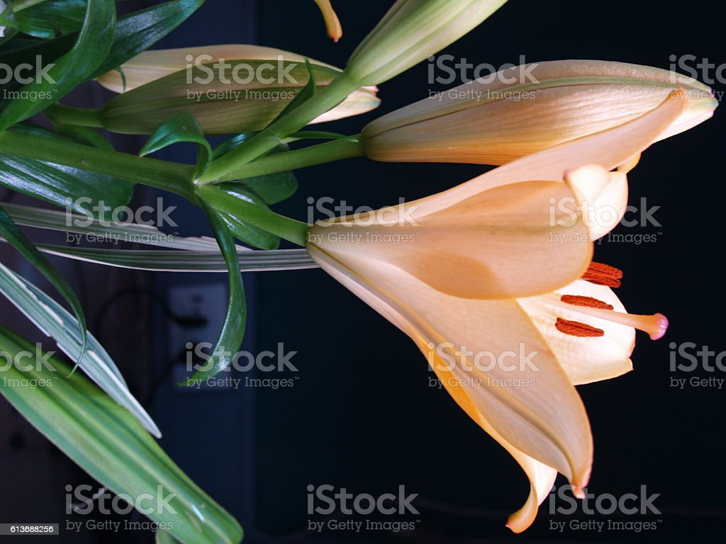 Zephyranthes lily flower. Common names for species in this genus stock photo
