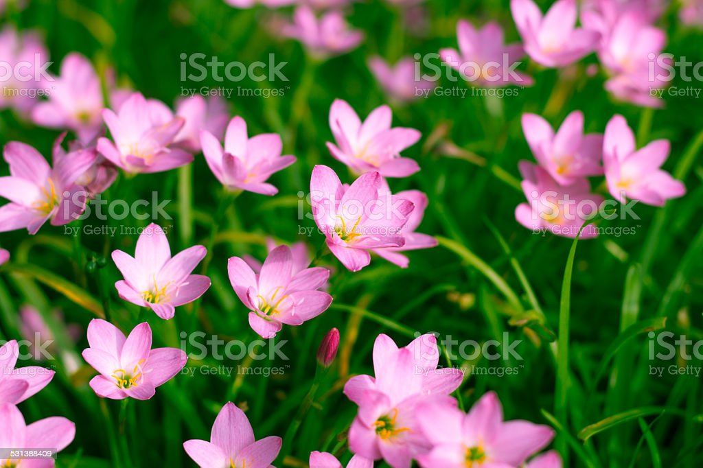 Zephyranthes Lily stock photo