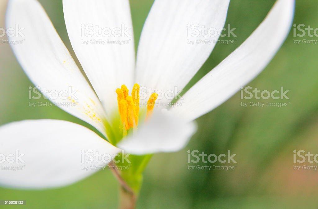 Zephyranthes stock photo