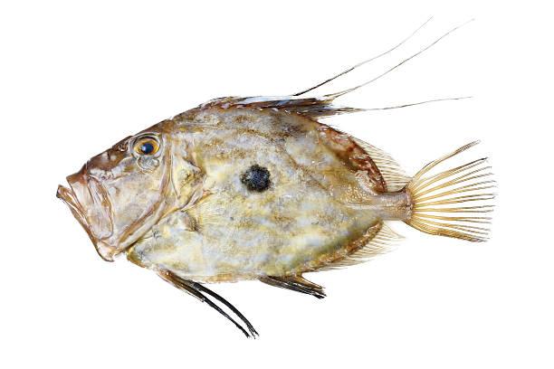 Zeus Faber fish stock photo