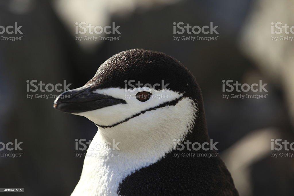 Zügelpinguin oder Kehlstreifenpinguine in der Antarktis stock photo