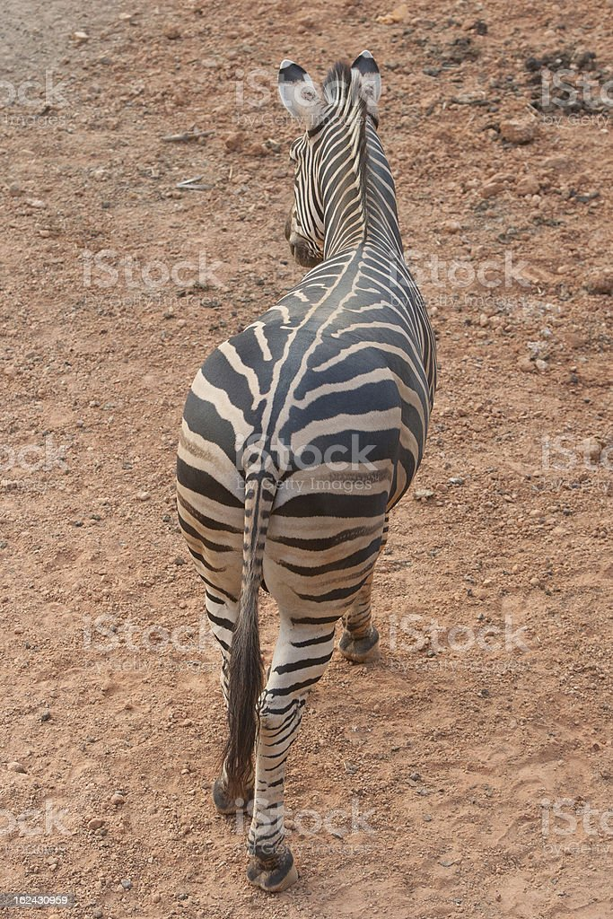 Zibra royalty-free stock photo