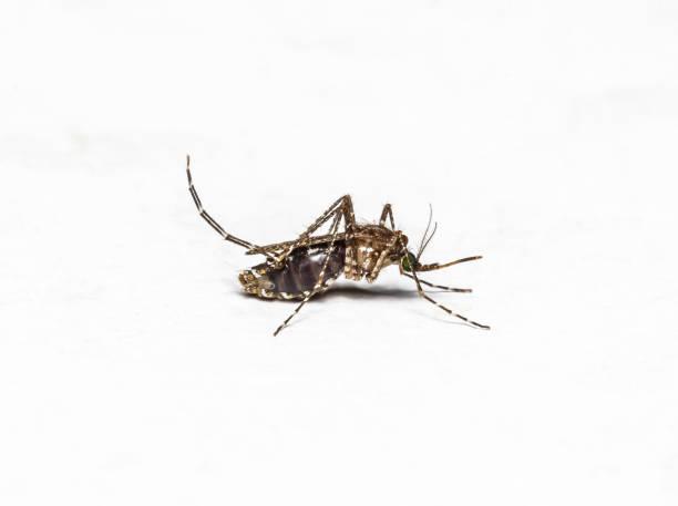 Zica virus aedes aegypti mosquito isolated on white walls. stock photo
