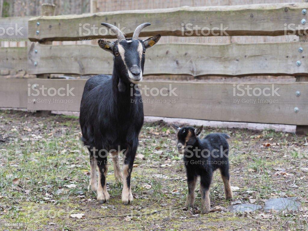 Ziege mit Kitz - chèvre avec fauve - Photo