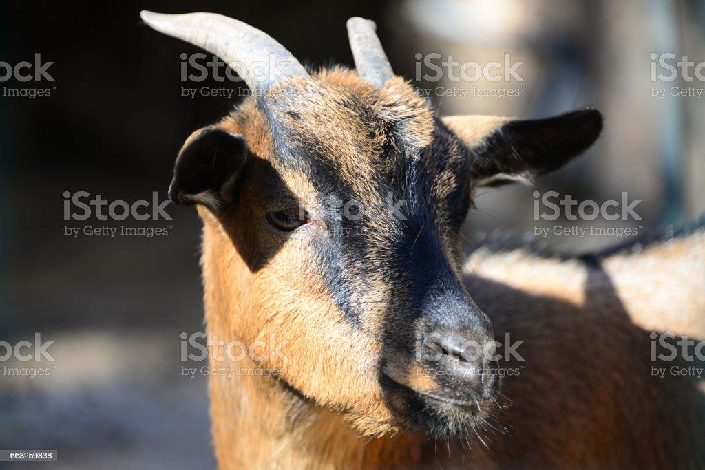 Ziegen in Spanien - Photo