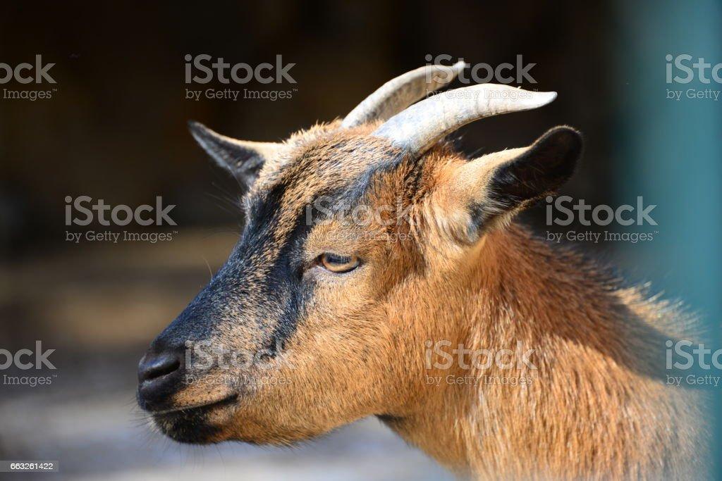 Chèvres in Spanien - Photo