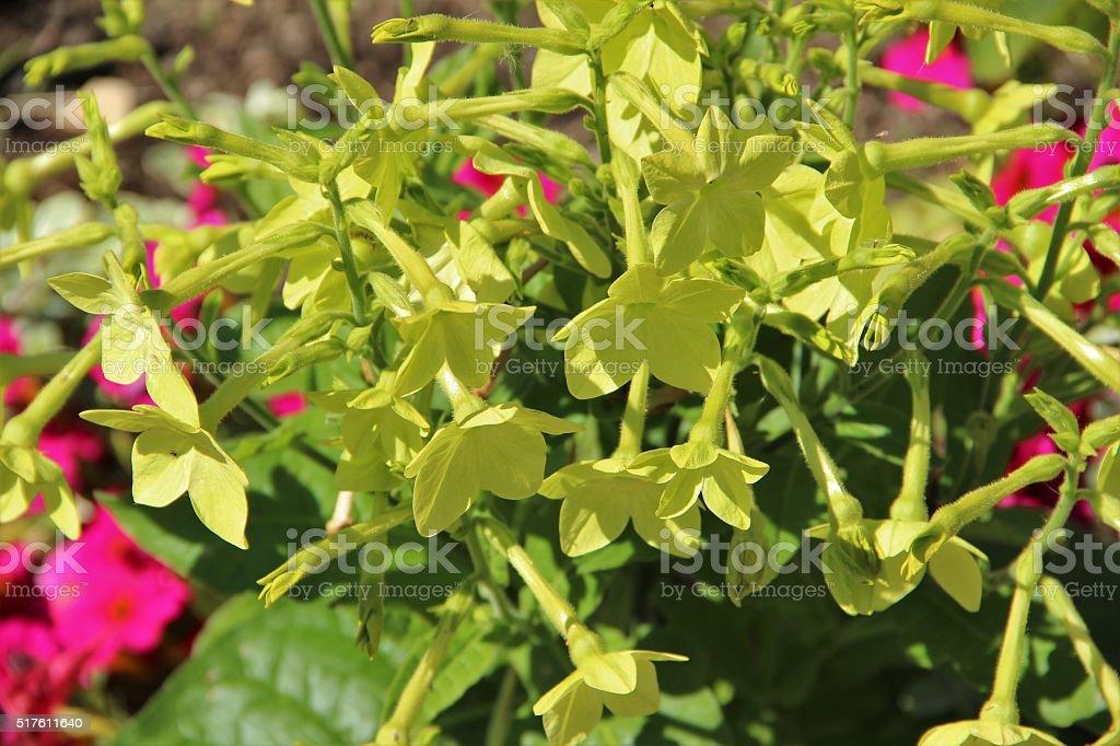 Ziertabak - Nicotiana x_sanderae stock photo