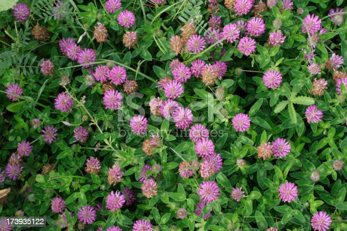 Zigzag (meadow) clover is very similar to red clover, with a zig-zagging stem and darker flowers with darker leaves that are either unmarked or barely marked.