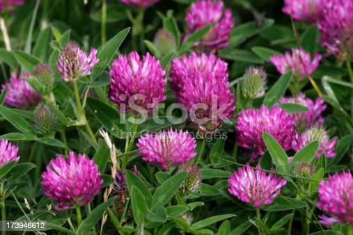 Zigzag (meadow) clover (Trifolium medium) is very similar to red clover, with a zig-zagging stem and darker flowers with darker leaves that are either unmarked or barely marked.