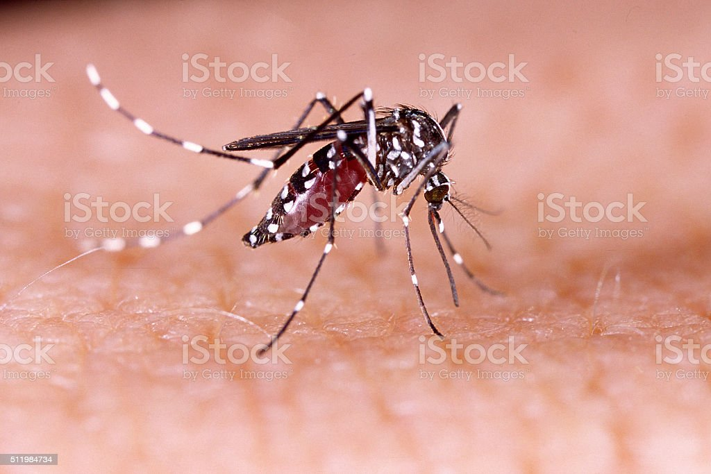 Zika virus de la Aedes aegypti mosquito Dengue chikunguña piel humana - foto de stock