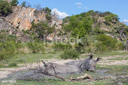 A Southern White Rhinoceros (Ceratotherium simum simum) mother and her young wallowing in a mud pit in Matobo National Park.