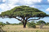 An Umbrella Thorn Acacia (Vachellia tortilis aka Acacia tortilis or Umbrella Tree) in Hwange National Park.