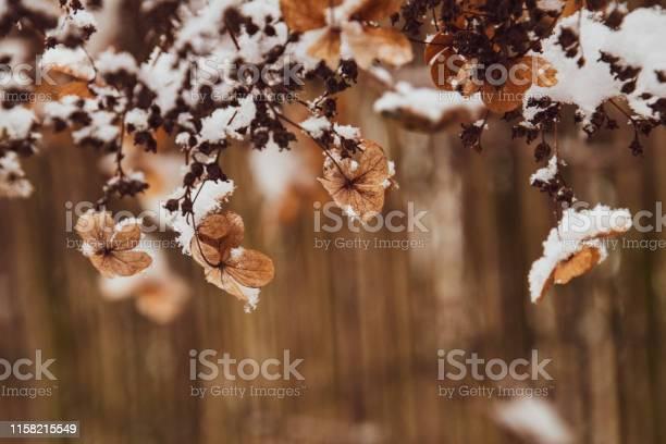 Zimowe kwiaty ze niegiem picture id1158215549?b=1&k=6&m=1158215549&s=612x612&h=jau4w 6yx2qupvyh8j51r2b1luatzwchhidre4gvjas=