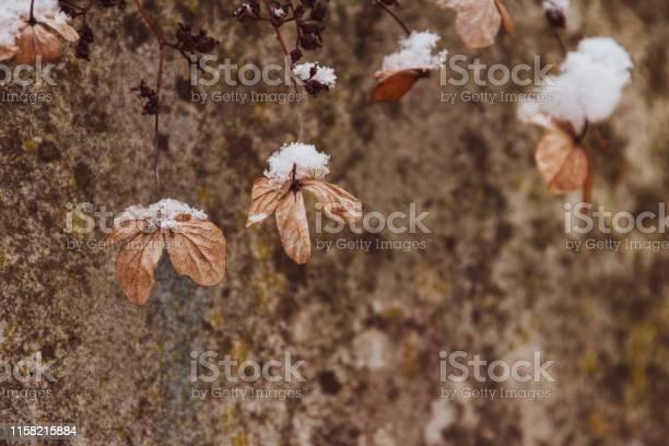 Zimowe kwiaty ze niegiem picture id1158215884?b=1&k=6&m=1158215884&s=612x612&h=btoy5738ujaeffpnmqatacwucxb91haiwhcu2nqnily=