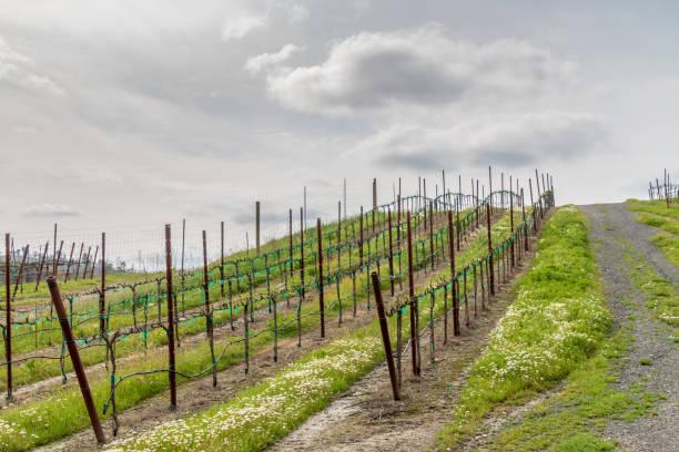 Zinfandel vineyard up hill at angle stock photo