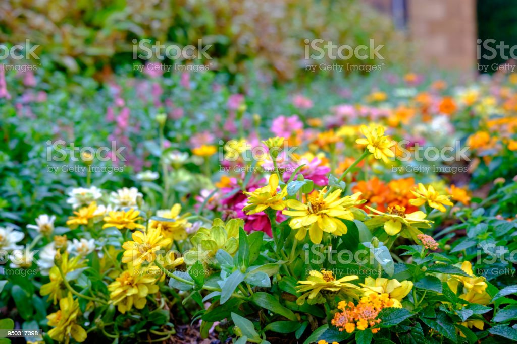 Zinnia colorful ornamental plant them in the garden stock photo